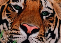 Face of Bengal Tiger, India Fine-Art Print