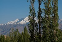 India, Ladakh, Leh, Trees in front of snow-capped mountains Fine-Art Print