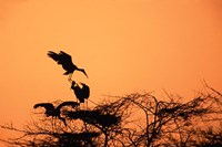 Painted Stork against a sunset sky, India Fine-Art Print