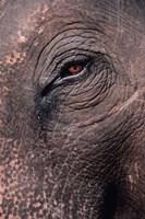 Asian Elephant's Eye, Kaziranga National Park, India Fine-Art Print
