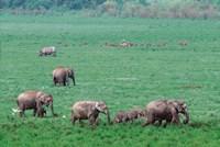 Asian Elephant in Kaziranga National Park, India Fine-Art Print