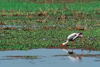 Painted Stork by the water, India Fine-Art Print