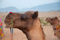 Close-up of a camel, Pushkar, Rajasthan, India. Fine-Art Print