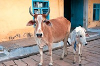Cow and calf on the street, Jojawar, Rajasthan, India. Fine-Art Print