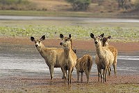 Alert Sanbar deers, Ranthambhor National Park, India Fine-Art Print