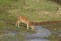 Chital wildlife, Corbett NP, Uttaranchal, India Fine-Art Print
