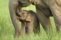 Elephant and Young, Corbett National Park, Uttaranchal, India Fine-Art Print