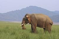 Elephant in the grass, Corbett NP, Uttaranchal, India Fine-Art Print