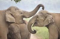 Elephants Play Fighting, Corbett National Park, Uttaranchal, India Fine-Art Print