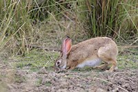 Indian Hare wildlife, Ranthambhor NP, India Fine-Art Print