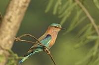 Indian roller bird, Corbett NP, Uttaranchal, India Fine-Art Print