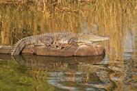 Marsh Crocodile, Ranthambhor National Park, India Fine-Art Print