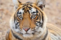 Royal Bengal Tiger Head, Ranthambhor National Park, India Fine-Art Print