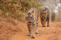 Royal Bengal Tigers Along the Track, Ranthambhor National Park, India Fine-Art Print