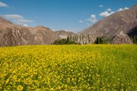 Mustard flowers and mountains in Alchi, Ladakh, India Fine-Art Print