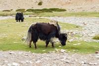 India, Jammu and Kashmir, Ladakh, yaks eating grass on a dry creek bed Fine-Art Print