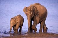 Pair of Asian Elephants, Nagarhole National Park, India Fine-Art Print