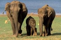 Asian Elephant Family, Nagarhole National Park, India Fine-Art Print