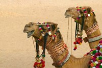 Decorated Camel in the Thar Desert, Jaisalmer, Rajasthan, India Fine-Art Print