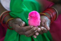 Woman and Chick Painted with Holy Color, Orissa, India Fine-Art Print