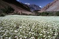 India, Ladakh, Suru, White flower blooms Fine-Art Print