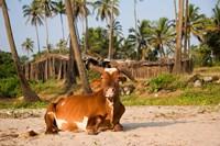 Goa, India. A lazy cow resting on Vagator Beach Fine-Art Print