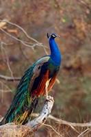 Indian Peacock, Ranthambhor National Park, India Fine-Art Print