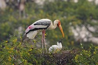 Painted Stork birds, Keoladeo National Park, India Fine-Art Print