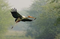 Painted Stork in flight, Keoladeo National Park, India Fine-Art Print