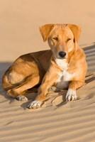 Dog Lying in Sand Dunes, Thar Desert, Jaisalmer, Rajasthan, India Fine-Art Print
