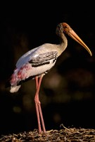 Painted Stork, Bharatpur, Keoladeo National Park, Rajasthan, India Fine-Art Print