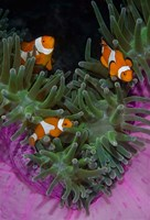 Clownfish swim among anemone tentacles, Raja Ampat, Indonesia Fine-Art Print