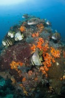 Fish swim around coral, Tatawa Besar, Komodo NP, Indonesia Fine-Art Print