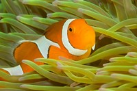 False Clown Anemonefish, Raja Ampat Region of Papua, Indonesia Fine-Art Print