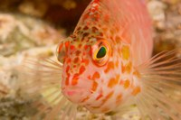 Pixie Hawkfish, Banda Sea, Indonesia Fine-Art Print