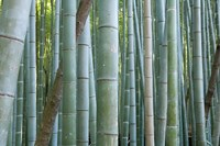 Bamboo Forest, Kyoto, Japan Fine-Art Print