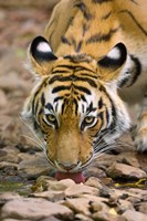 Tiger Drinking from A Creek, Ranthambore National Park, Rajasthan, India Fine-Art Print