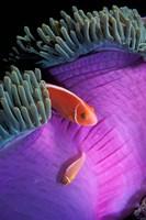 Anemonefish swimming in anemone tent, Indonesia Fine-Art Print