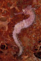 Thorny Seahorse on Soft Coral, Indonesia Fine-Art Print
