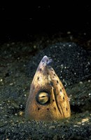 Blackfin Snake Eel with cleaner shrimp, North Sulawesi, Indonesia Fine-Art Print