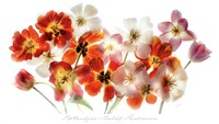 Tulip Panorama Fine-Art Print