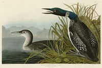 Great Northern Diver or Loon Fine-Art Print