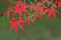 Maple Leaves, Kyoto, Japan Fine-Art Print