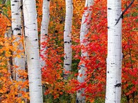 Aspens and Maples Fine-Art Print