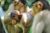Southern Pig-Tailed Macaque, Sepilok, Borneo, Malaysia Fine-Art Print