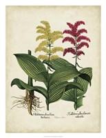 Besler Florilegium II Fine-Art Print