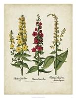 Besler Florilegium III Fine-Art Print