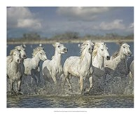 White Horses of the Camargue Fine-Art Print