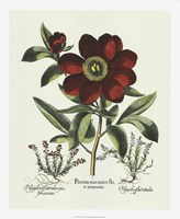Red Besler Peonie I Fine-Art Print