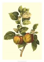 Bessa Apple Fine-Art Print